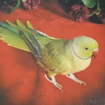 Indian Ring Neck For Sale , 7 Wonderful African Ringneck Parrot In Birds Category