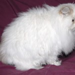 Indiana Cats , 9 Lovely Persian Cats For Sale In Indiana In Cat Category