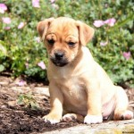 Jug Puppies , 7 Cute Peekapoo Puppies For Sale In Pa In Dog Category
