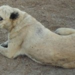 KURDISH KANGAL Dog  , 7 NIce Kurdish Kangal Puppies For Salekurdish Kangal Puppies For Sale In Dog Category