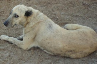 KURDISH KANGAL Dog  in Plants