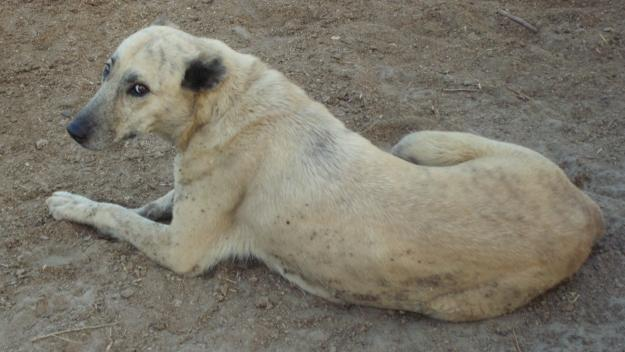 KURDISH KANGAL Dog