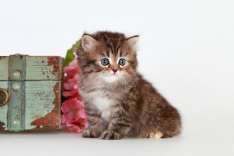 Kitten Application , 8 Cool Teacup Persian Cat Price In Cat Category