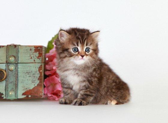 Cat , 8 Cool Teacup Persian Cat Price : Kitten Application