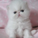 Kittens For Sale , 4 Gorgeous Persian Cats For Sale In Phoenix In Cat Category