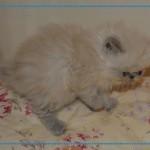 Kittens For Sale San Antonio , 6 Good Persian Cats San Antonio In Cat Category