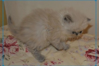 Kittens For Sale San Antonio in Cat