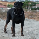 Kurdish Kangal Dog , 7 NIce Kurdish Kangal Puppies For Salekurdish Kangal Puppies For Sale In Dog Category