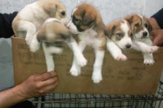 Kurdish Kangal Puppies For Sale , 7 NIce Kurdish Kangal Puppies For Salekurdish Kangal Puppies For Sale In Dog Category