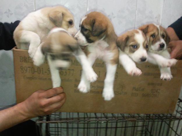 Kurdish Kangal Puppies For Sale : Biological Science Picture