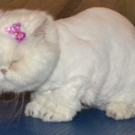Kylies Cat Groomin , 7 Good Persian Cat Grooming In Dog Category