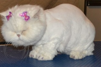 Kylies Cat Groomin in Laboratory