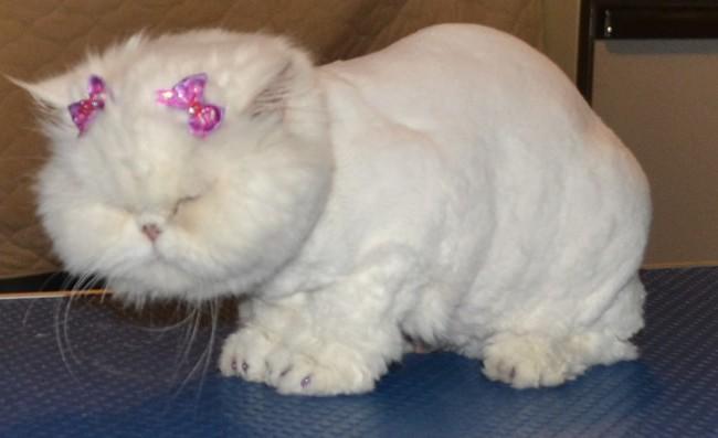 Dog , 7 Good Persian Cat Grooming : Kylies Cat Groomin