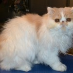 Kylies Cat Grooming , 8 Cute Grooming A Persian Cat In Cat Category