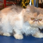 Kylies Cat Grooming , 9 Good Grooming Persian Cats In Cat Category