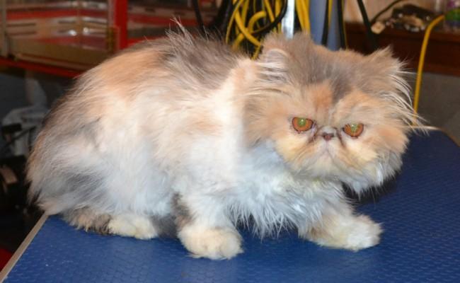 Cat , 9 Good Grooming Persian Cats : Kylies Cat Grooming