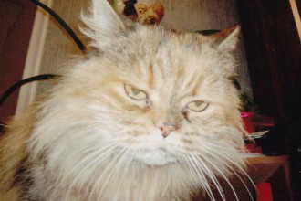 Lonely Persian Cat , 6 Persian Cat Allergies To Consider In Cat Category