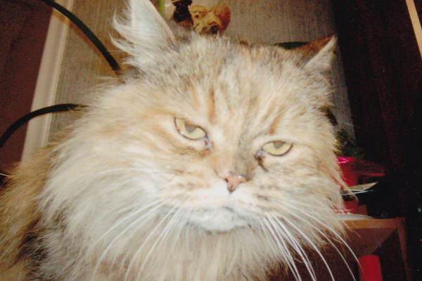 Cat , 6 Persian Cat Allergies To Consider : Lonely Persian Cat