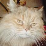 Lonely Persian Cat , 10 Fabulous Persian Cat Rescue California In Cat Category