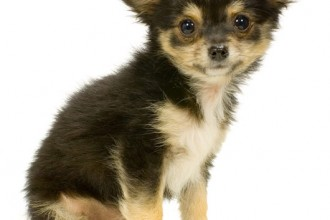 Long Haired Chihuahua puppy  in Butterfly