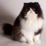 Longhair Cats , 7 Good Persian Cat Grooming In Dog Category