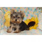 Maltese  , 5 Cute Morkie Puppies For Sale In Pittsburgh Pa In Dog Category