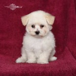 Maltese , 7 Cool Maltese Puppies For Sale In Augusta Ga In Dog Category