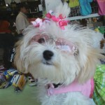 7 Cool Maltese Puppies For Sale In Augusta Ga Biological Science
