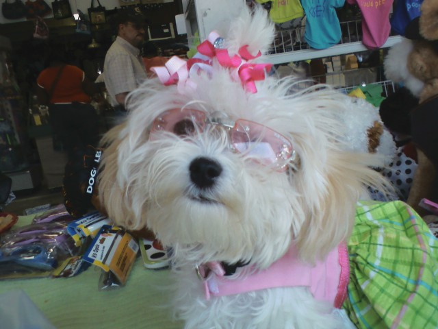 Dog , 7 Cool Maltese Puppies For Sale In Augusta Ga : Maltese Breeder