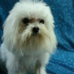 Maltese Breeders In Indiana , 5 Cute Morkie Puppies For Sale In Pittsburgh Pa In Dog Category