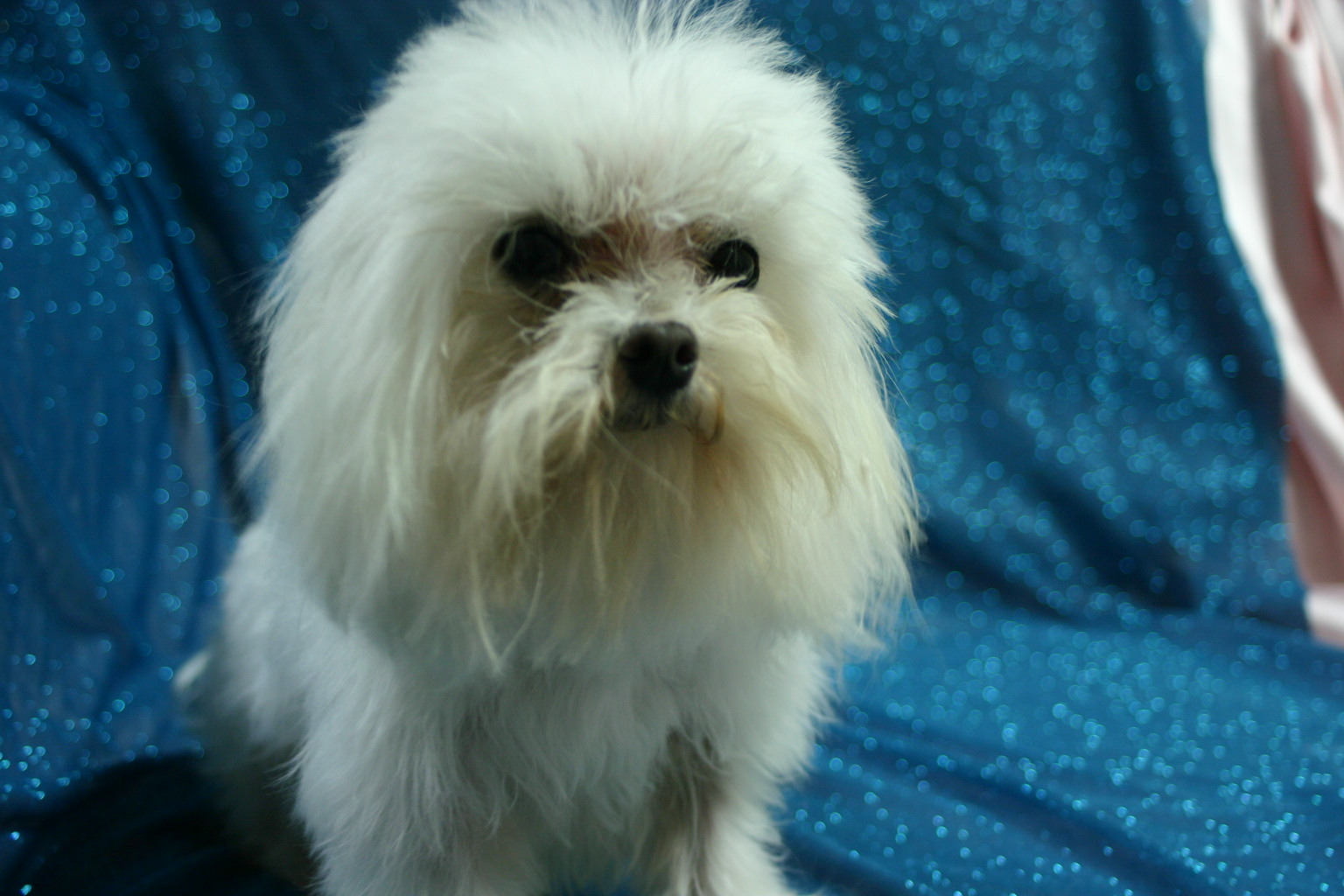 Maltese Breeders In Indiana : Biological Science Picture