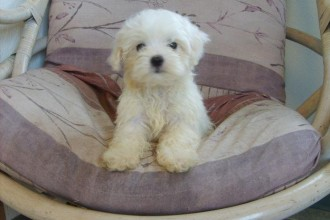 Maltese Puppies , 5 Cute Morkie Puppies For Sale In Pittsburgh Pa In Dog Category
