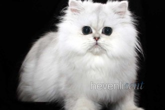 Micah Doll Faced Persian , 6 Cute Doll Face Persian Cat In Cat Category