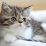 Mini Persian Cat , 7 Cute Miniature Persian Cat In Cat Category