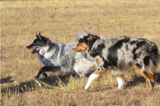 Dog , 8 Charming Pomskies Puppies For Sale : Mini Pomskies