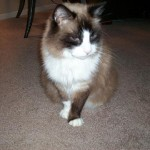 Missing Siamese Persian Cat , 6 Stunning Persian Cats Houston In Cat Category