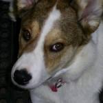 Mix Breed Dog , 9 Beautiful Siborgi Puppies In Dog Category