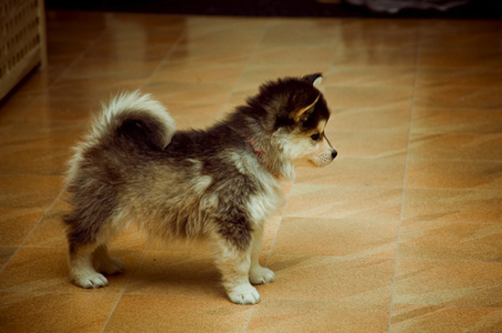 Dog , 6 Cute Pomsky Puppies For Sale In Oklahoma : Mix Pomsky Puppies