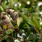 Monk Parakeet , 7 Beautiful Monk Parrots In Birds Category
