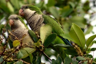 Monk Parakeet in Birds