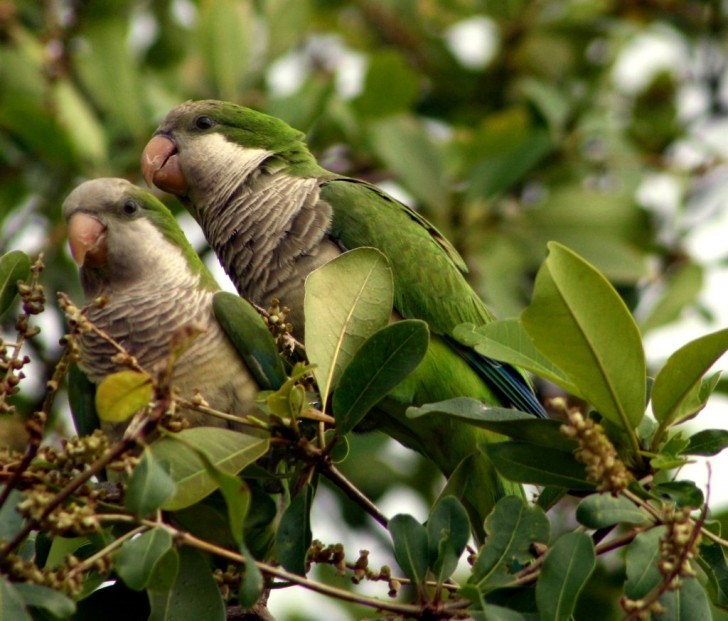 Birds , 7 Beautiful Monk Parrots : Monk Parakeet