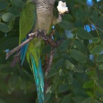 Monk Parrot , 7 Beautiful Monk Parrots In Birds Category