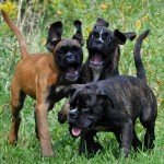 Monster Boxer Puppies , 9 Amazing Boxer Puppies Spokane Wa In Dog Category