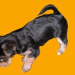Morkie Puppies , 5 Cute Morkie Puppies For Sale In Pittsburgh Pa In Dog Category