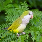Myiopsitta monachus , 7 Beautiful Monk Parrots In Birds Category