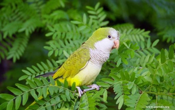 Birds , 7 Beautiful Monk Parrots : Myiopsitta Monachus
