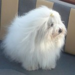 North American Coton , 7 Cute Coton De Tulear Puppy Cut In Dog Category