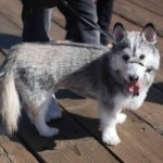 Oddest Mixed Breeds , 9 Beautiful Siborgi Puppies In Dog Category