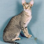 Oriental Shorthair Kittens , 7 Cute Persian Shorthair Cat In Cat Category