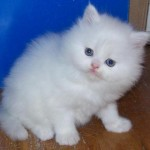 PERSIAN KITTENS , 8 Charming Persian Cats Rescue In Cat Category